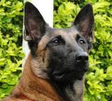 Cães para adestramentos em São Vicente